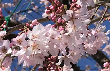滝桜が咲きました。